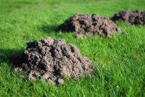 Zwalczanie kretów,nornic,kreta,likwidacja,jak się pozbyć,domu  ogrodzi - Insektpol Fumigacja Dezynfekcja Dezynsekcja Deratyzacja Ozonowanie Mrągowo
