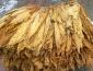 Suszarnia do tytoniu tytoń - Stary Dzików Suszarnia do tytoniu Danuta Mrówka