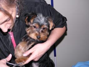 Strzyżenie pupy Strzyżenie psa Piekary Śląskie - Piekary Śląskie TOFIK Salon fryzjerski dla psów
