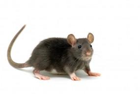Deratyzacja (zwalczanie szczurów i myszy) - P.H.U. BIOS Mirosław Poznański Gdańsk
