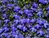 Lobelia - Kwiaciarnia