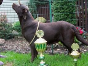 Reproduktor Labrador Retriever - HODOWLA ROTTWEILERÓW Celestynów