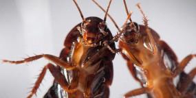 Tępienie karaluchów - zwalczanie owadów - INSEKTPOL Dezynfekcja, Dezynsekcja, Deratyzacja, Fumigacja, Ozonowanie Nowe Miasto Lubawskie