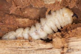 zwalczanie szkodników drewna - RATMAR Zakład Profilaktyki i Zwalczania Szkodników Sanitarnych Dezynfekcja Dezynsekcja Deratyzacja Giżycko