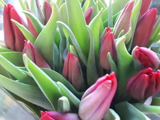 czerwone tulipanki