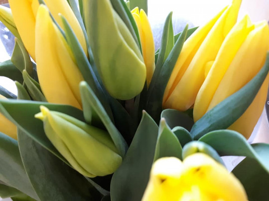 żółte tulipanki