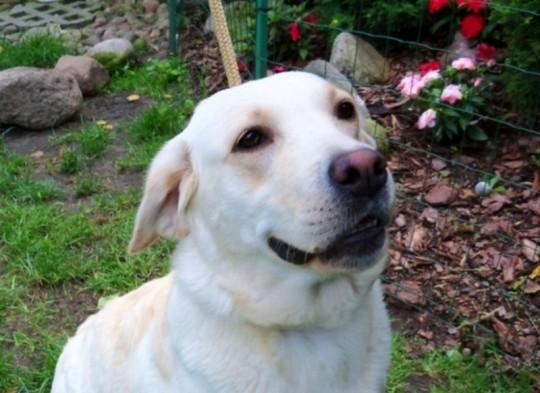 Labrador Retriever...