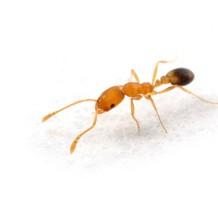 Zwalczanie mrówek...